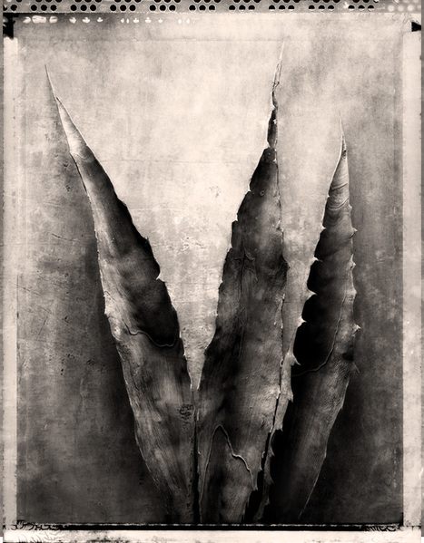 Dried Agave Leaves